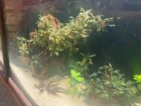 Bucephalandra fa