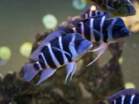 Cyphotilapia Frontosa Zaire Blue Moba