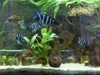 Sürgősen eladó Nimbochromis Venustus