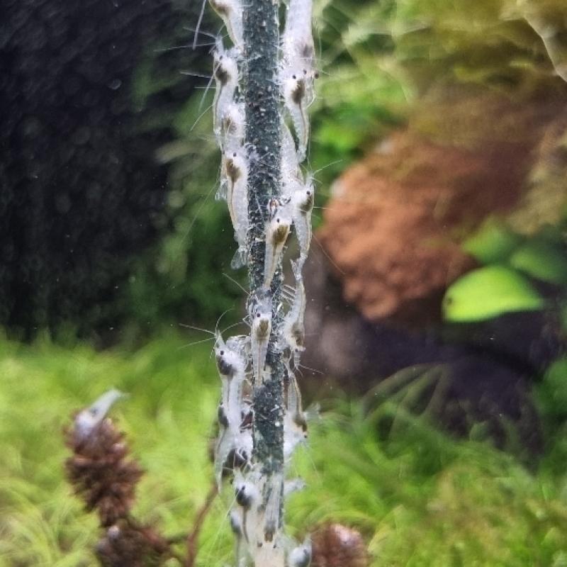 Snowball garnéla